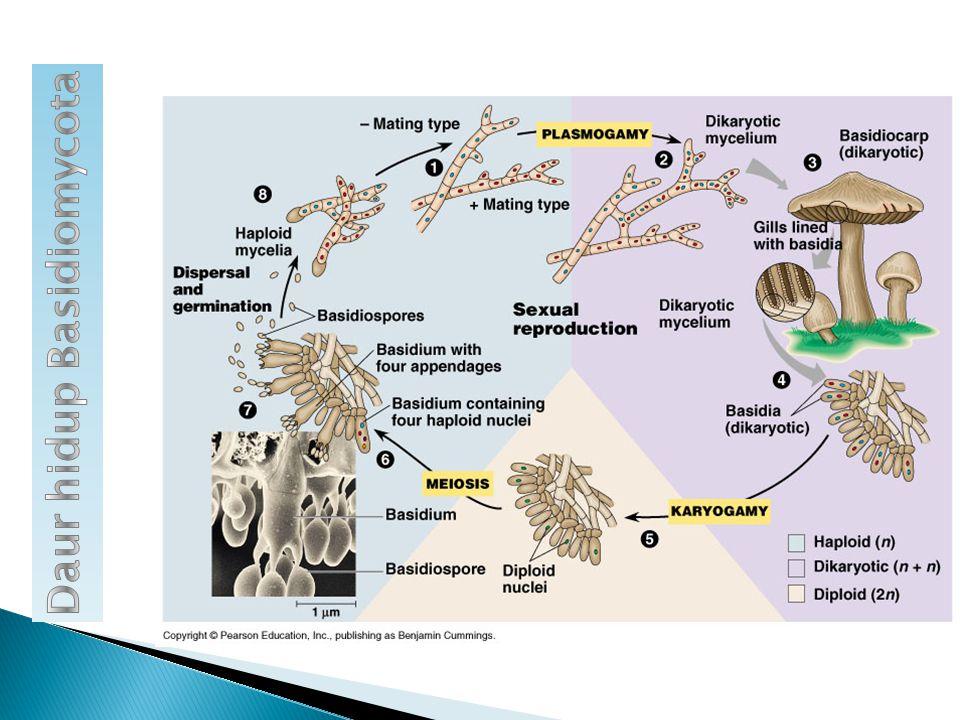 Multiseluler dengan hifa bersekat Tubuh buah disebut basidiokarp (payung, kuping, lingkaran) Penghasil spora: basidiospora Habitat: saprofit pada sisa m.h Reproduksi aseksual: membentuk spora konidia Reproduksi seksual: perkawinan antar hifa membentuk basidiospora Multiseluler dengan hifa bersekat Tubuh buah disebut basidiokarp (payung, kuping, lingkaran) Penghasil spora: basidiospora Habitat: saprofit pada sisa m.h Reproduksi aseksual: membentuk spora konidia Reproduksi seksual: perkawinan antar hifa membentuk basidiospora