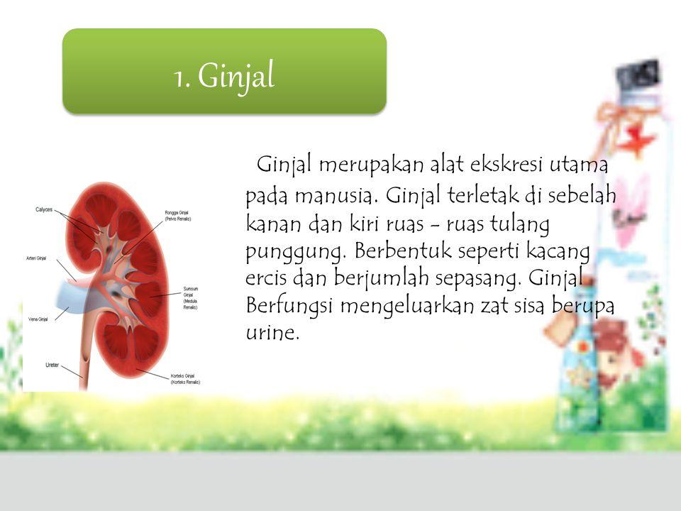 1. Ginjal Ginjal merupakan alat ekskresi utama pada manusia. Ginjal terletak di sebelah kanan dan kiri ruas - ruas tulang punggung. Berbentuk seperti