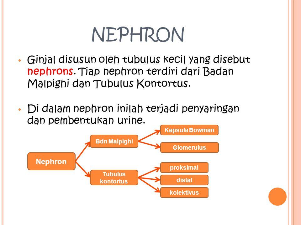 S TRUKTUR GINJAL Irisan melintang ginjal manusia terdiri dari: Bagian luar : korteks (kulit ginjal) (Terdapat Nephron). Bagian tengah : medulla (Sumsu