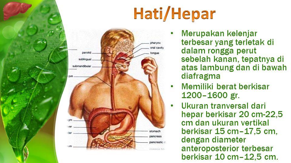 Merupakan kelenjar terbesar yang terletak di dalam rongga perut sebelah kanan, tepatnya di atas lambung dan di bawah diafragma Memiliki berat berkisar