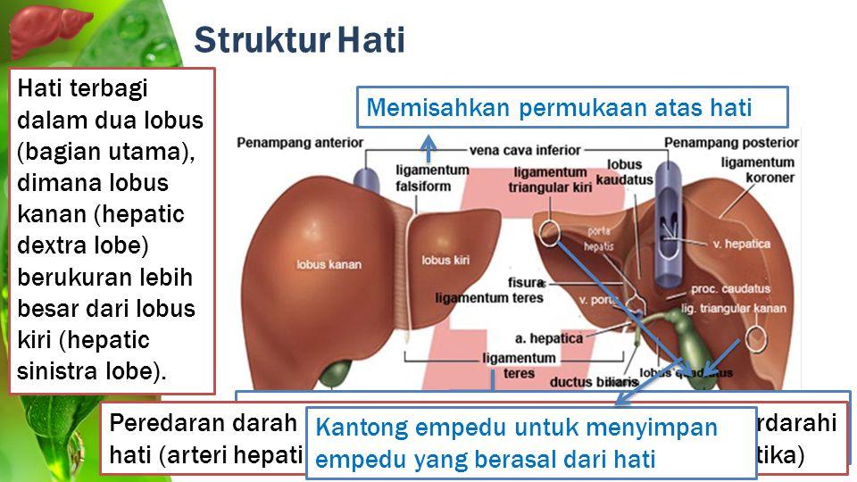 Struktur Hati Memisahkan permukaan atas hati Merupakan bagian bawah ligamen falciformis Merupakan fusi dari ligamentum coronaria anterior dan posterio