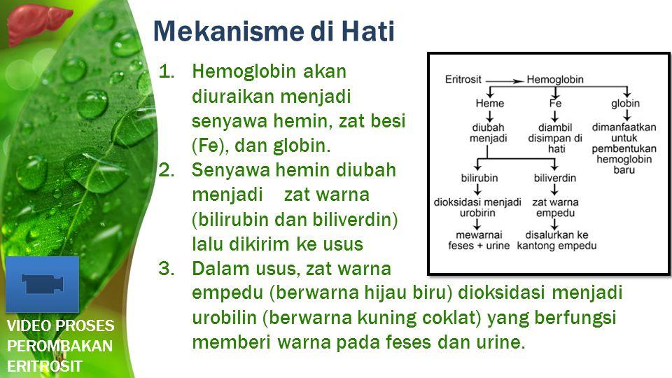 Mekanisme di Hati 1.Hemoglobin akan diuraikan menjadi senyawa hemin, zat besi (Fe), dan globin. 2.Senyawa hemin diubah menjadi zat warna (bilirubin da
