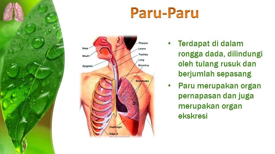 Terdapat di dalam rongga dada, dilindungi oleh tulang rusuk dan berjumlah sepasang Paru merupakan organ pernapasan dan juga merupakan organ ekskresi