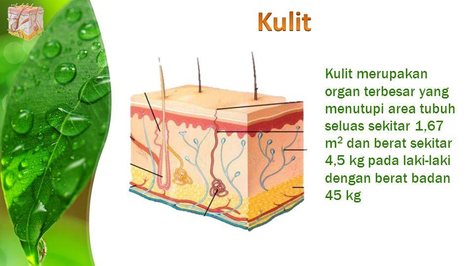 Kulit merupakan organ terbesar yang menutupi area tubuh seluas sekitar 1,67 m 2 dan berat sekitar 4,5 kg pada laki-laki dengan berat badan 45 kg