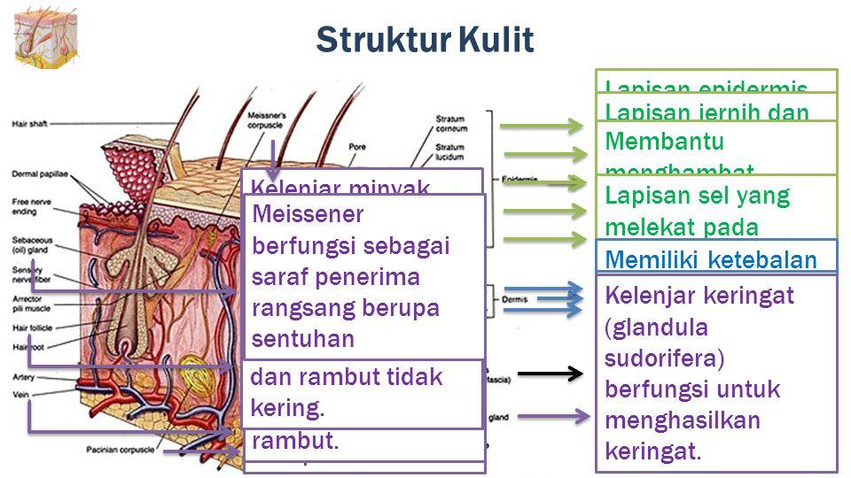 Struktur Kulit Bagian terluar kulit yang tersusun dari sel epitel pipih berlapis banyak dengan susunan yang rapat dan mengalami keratinasi Lapisan epi