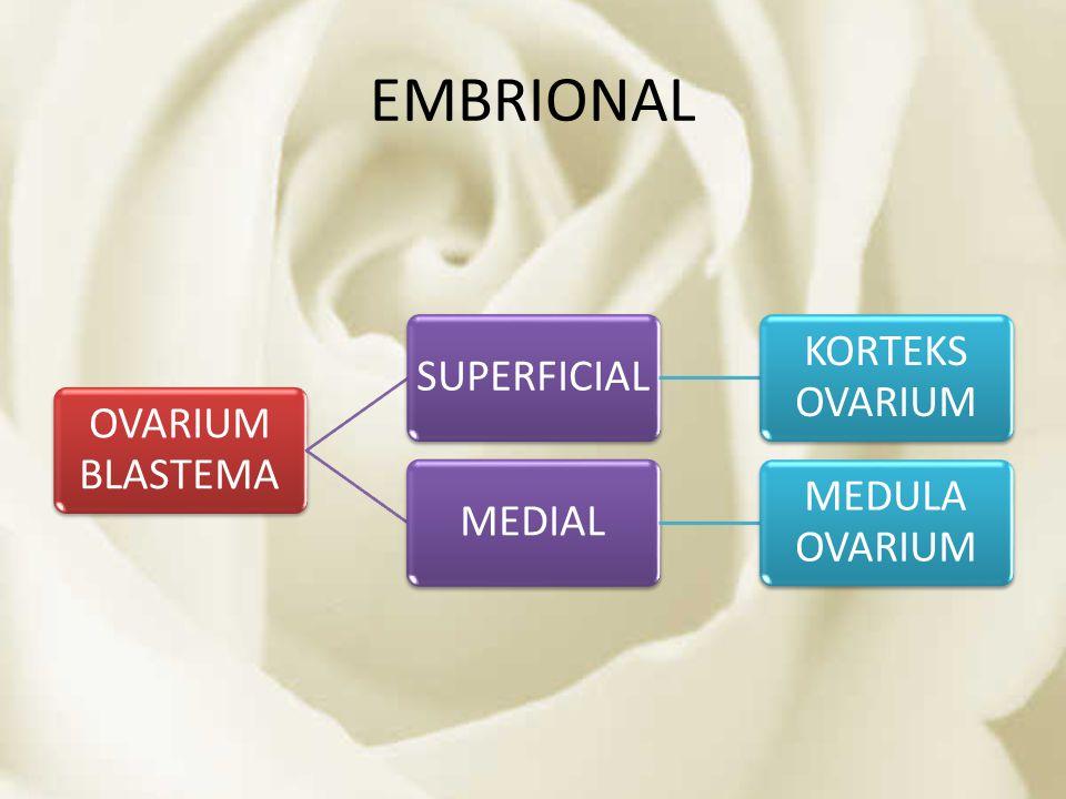 EMBRIONAL OVARIUM BLASTEMA SUPERFICIAL KORTEKS OVARIUM MEDIAL MEDULA OVARIUM