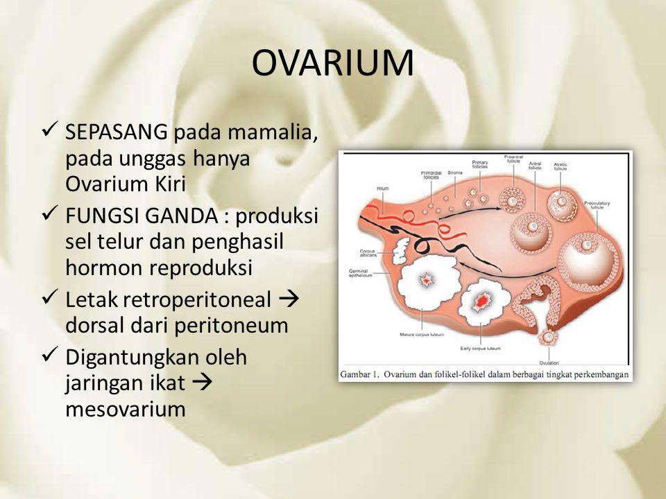 OVARIUM SEPASANG pada mamalia, pada unggas hanya Ovarium Kiri FUNGSI GANDA : produksi sel telur dan penghasil hormon reproduksi Letak retroperitoneal