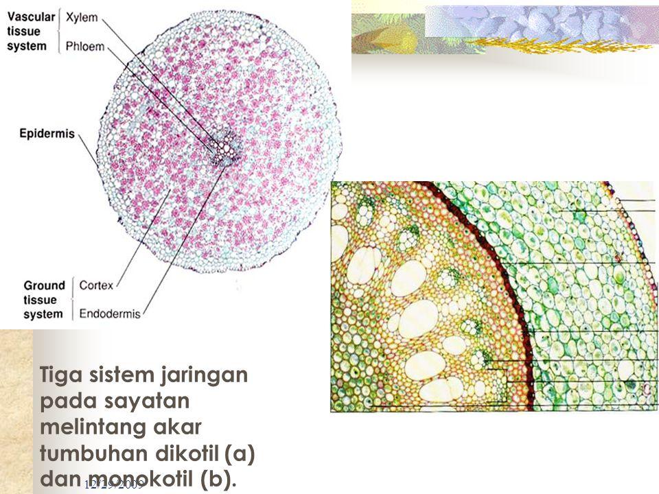 12/29/2009 Tiga sistem jaringan pada sayatan melintang akar tumbuhan dikotil (a) dan monokotil (b).