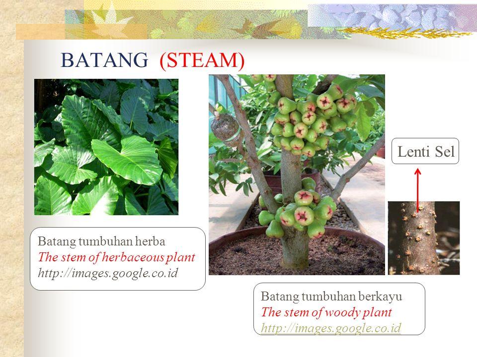 Batang tumbuhan herba The stem of herbaceous plant http://images.google.co.id Batang tumbuhan berkayu The stem of woody plant http://images.google.co.