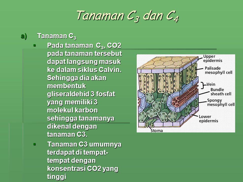 Tanaman C 3 dan C 4 a)Tanaman C 3  Pada tanaman C 3, CO2 pada tanaman tersebut dapat langsung masuk ke dalam siklus Calvin. Sehingga dia akan membent