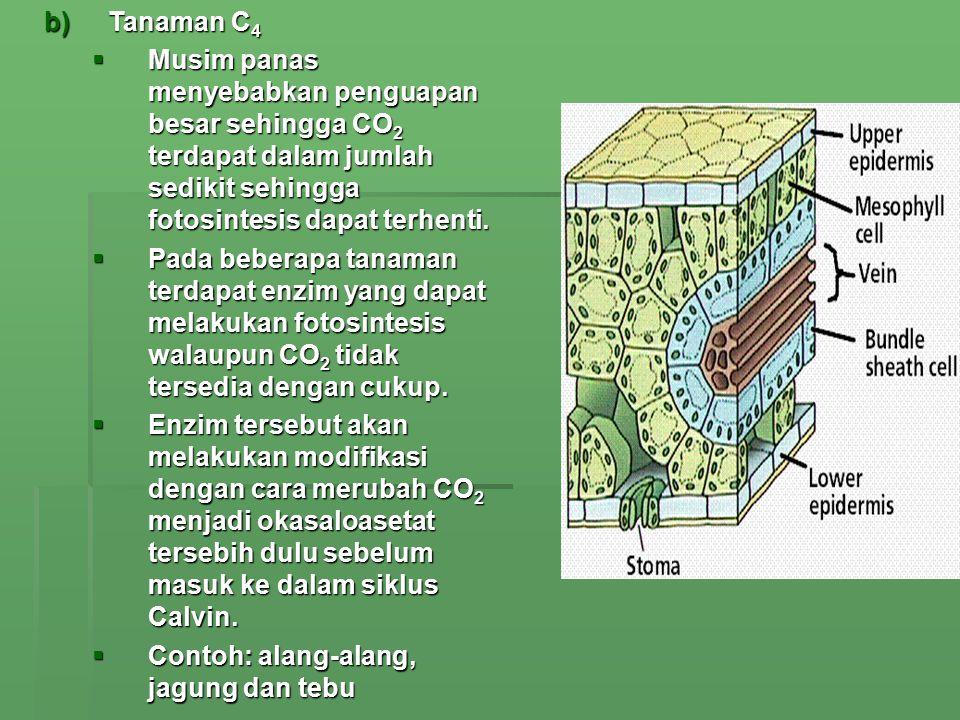 b)Tanaman C 4  Musim panas menyebabkan penguapan besar sehingga CO 2 terdapat dalam jumlah sedikit sehingga fotosintesis dapat terhenti.  Pada beber