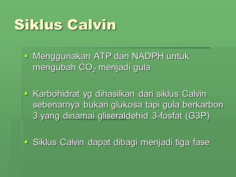Siklus Calvin  Menggunakan ATP dan NADPH untuk mengubah CO 2 menjadi gula  Karbohidrat yg dihasilkan dari siklus Calvin sebenarnya bukan glukosa tap