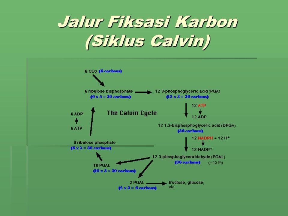 Jalur Fiksasi Karbon (Siklus Calvin)