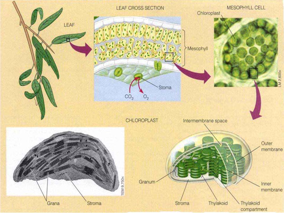 Struktur Kloroplas KLOROPLAS :  Kloroplas terdapat pada sel-sel mesofil  Kloroplas terdiri dari membran dalam, membran luar, bagian antar membran, stroma dan tilakoid yang terdapat di dalam grana.