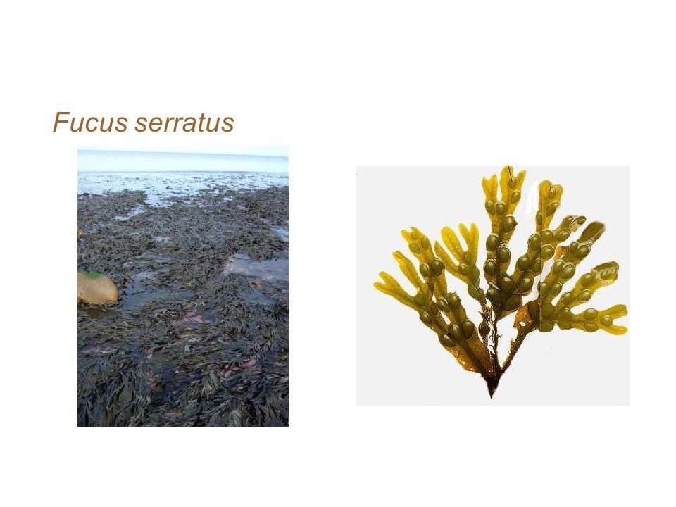 contoh-contoh alga coklat Fucus serratus