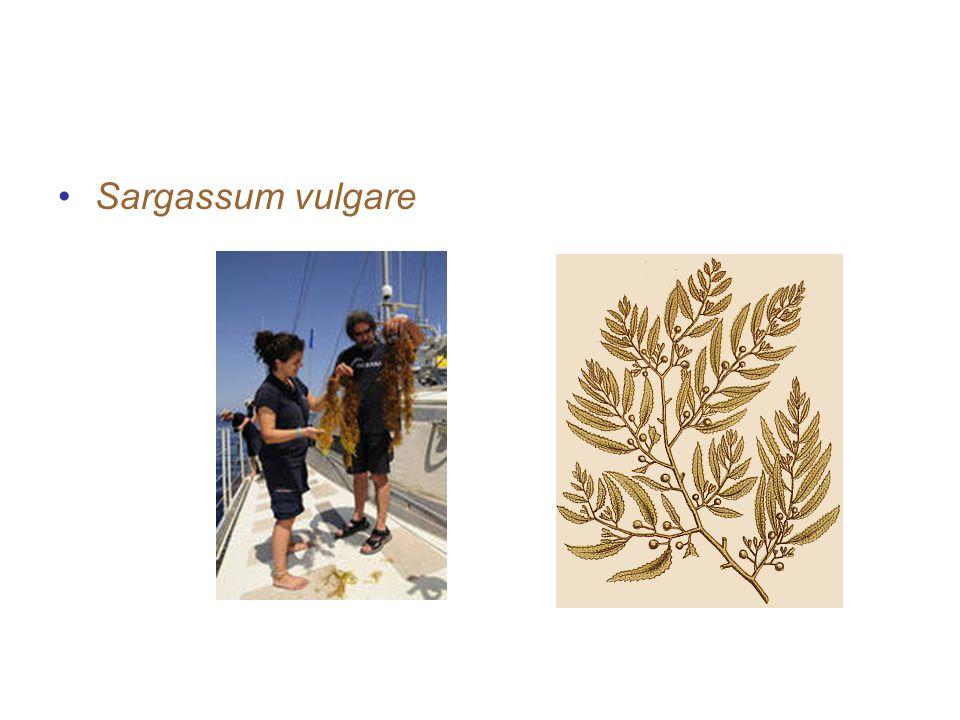contoh-contoh alga coklat Sargassum vulgare
