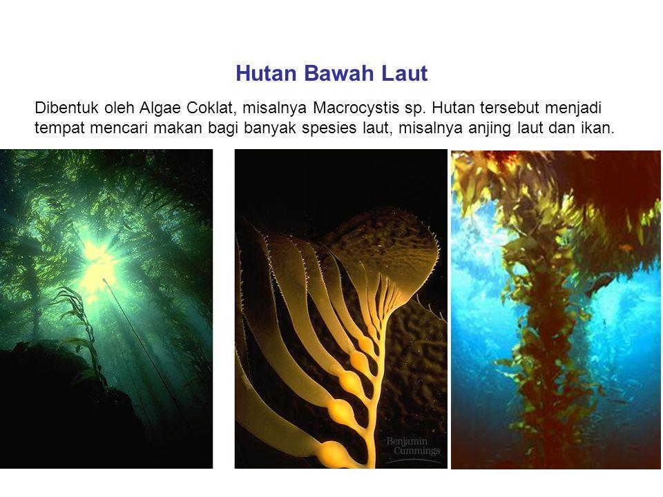 Hutan Bawah Laut Dibentuk oleh Algae Coklat, misalnya Macrocystis sp. Hutan tersebut menjadi tempat mencari makan bagi banyak spesies laut, misalnya a
