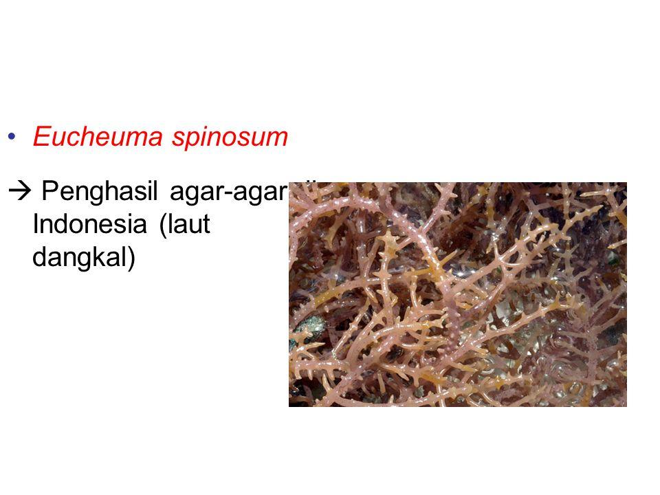 Contoh-contoh alga merah Eucheuma spinosum  Penghasil agar-agar di Indonesia (laut dangkal)