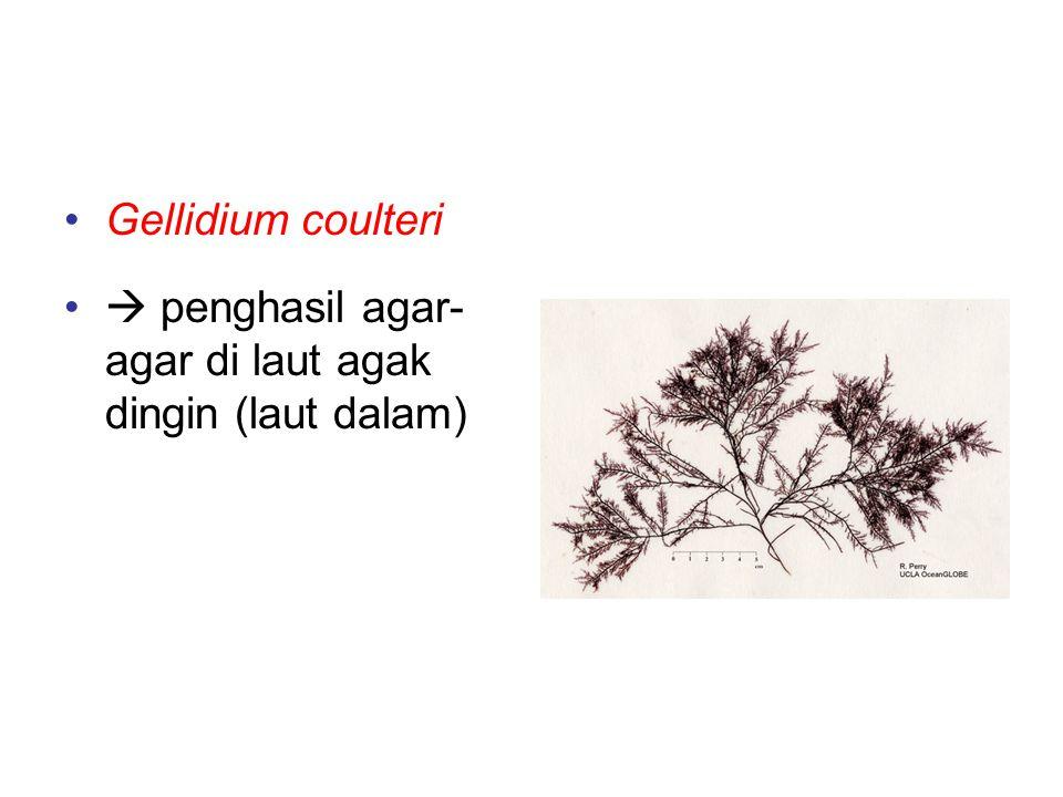 Contoh-contoh alga merah Gellidium coulteri  penghasil agar- agar di laut agak dingin (laut dalam)