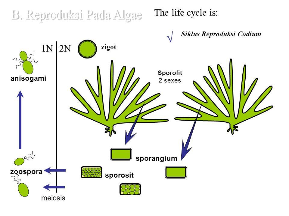 Ciri Umum : a.Pigmen dominan adalah xantofil, karoten.