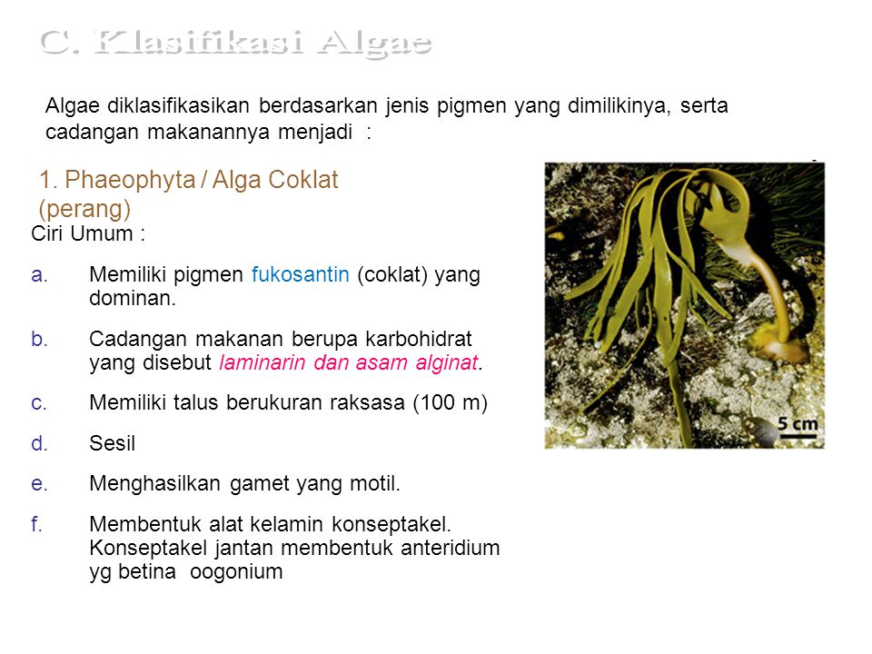 contoh-contoh alga coklat Laminaria  Penghasil asam alginat (bahan pengental pd industri tekstil, makanan, plastik
