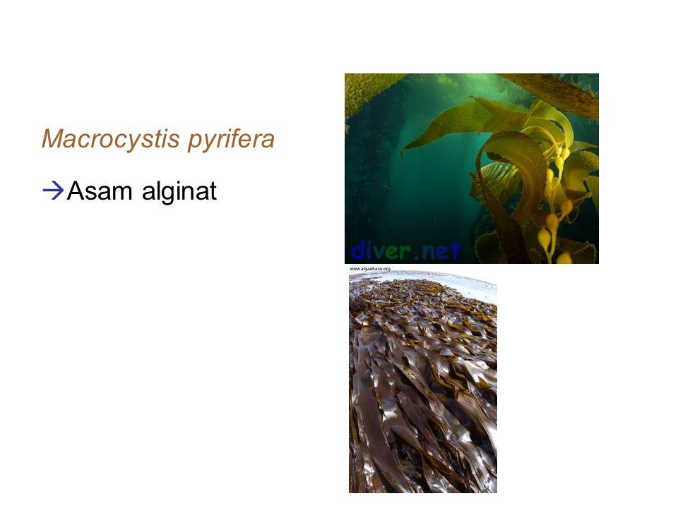 contoh-contoh alga coklat Macrocystis pyrifera  Asam alginat