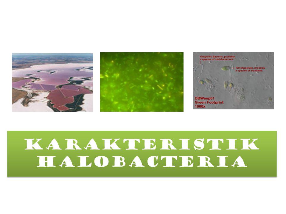 Halobacteria Termasuk ke dalam domain Archaea Memiliki kemampuan untuk hidup di lingkungan salinitas tinggi Merupakan mikroba extrim halofil (konsentrasi garam 10 x lebih pekat dari laut pada umumnya) Merupkan mikroba kemoorganotrof Halobacteria Termasuk ke dalam domain Archaea Memiliki kemampuan untuk hidup di lingkungan salinitas tinggi Merupakan mikroba extrim halofil (konsentrasi garam 10 x lebih pekat dari laut pada umumnya) Merupkan mikroba kemoorganotrof Structure BBentuk sel : cocci or rods.coccirods Dinding sel: Archaebacterial; gram-.gram- Motilitas: Non-motile cocci, or rods with polar flagella.motilepolar flagella Structure BBentuk sel : cocci or rods.coccirods Dinding sel: Archaebacterial; gram-.gram- Motilitas: Non-motile cocci, or rods with polar flagella.motilepolar flagella
