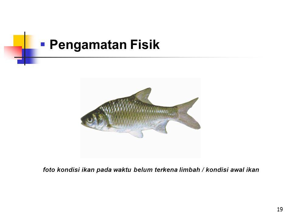 19  Pengamatan Fisik foto kondisi ikan pada waktu belum terkena limbah / kondisi awal ikan