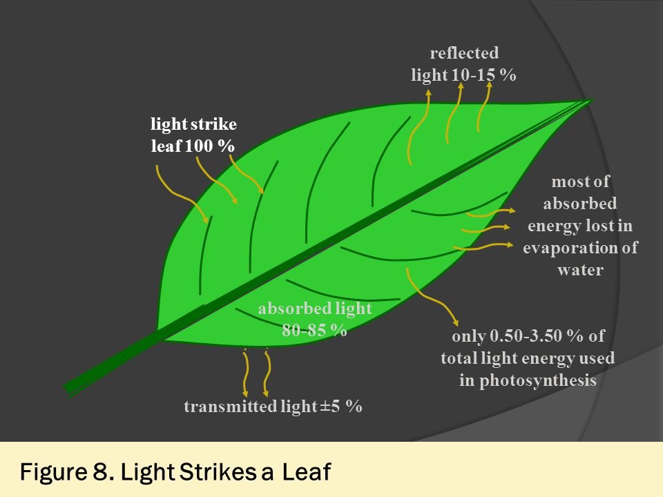 Figure 8. Light Strikes a Leaf reflected light 10-15 % most of absorbed energy lost in evaporation of water light strike leaf 100 % only 0.50-3.50 % o