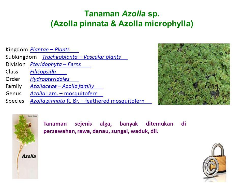Tanaman Azolla sp. (Azolla pinnata & Azolla microphylla) Tanaman sejenis alga, banyak ditemukan di persawahan, rawa, danau, sungai, waduk, dll. Kingdo