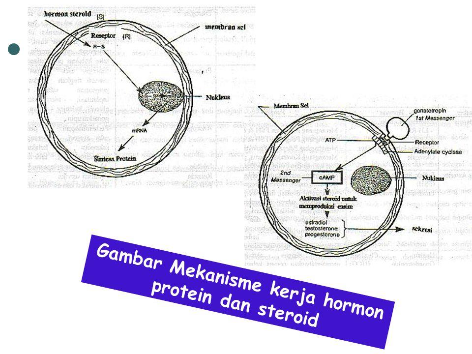 Gambar Mekanisme kerja hormon protein dan steroid