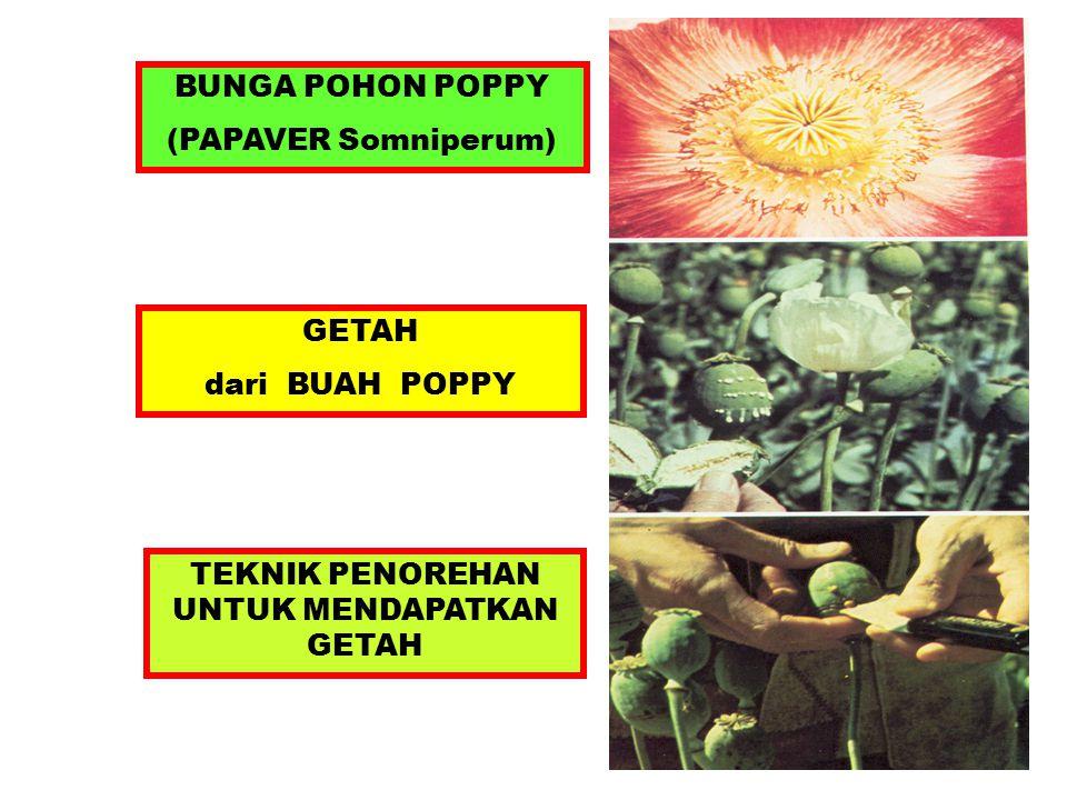BUNGA POHON POPPY (PAPAVER Somniperum) GETAH dari BUAH POPPY TEKNIK PENOREHAN UNTUK MENDAPATKAN GETAH