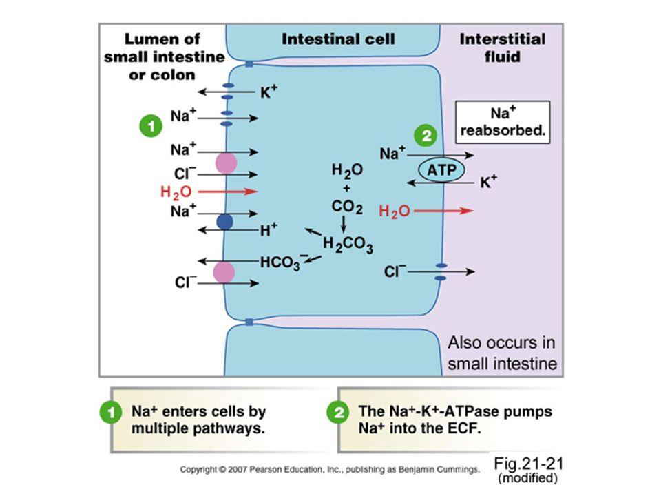 Kehilangan air, sodium dan chloride akan menyebabkan dehidrasi.