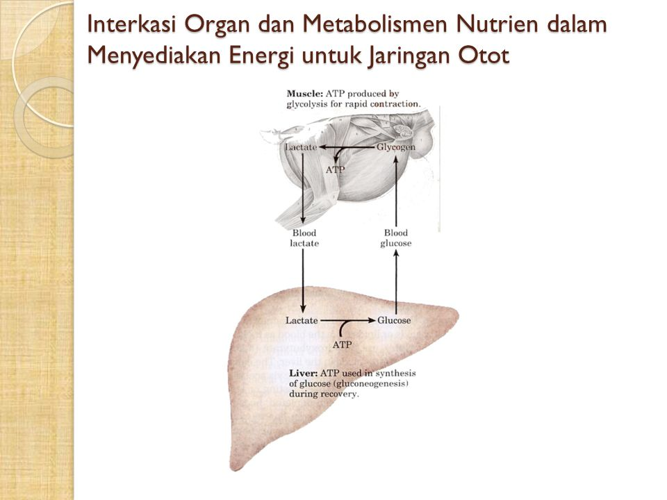 Interkasi Organ dan Metabolismen Nutrien dalam Menyediakan Energi untuk Jaringan Otot