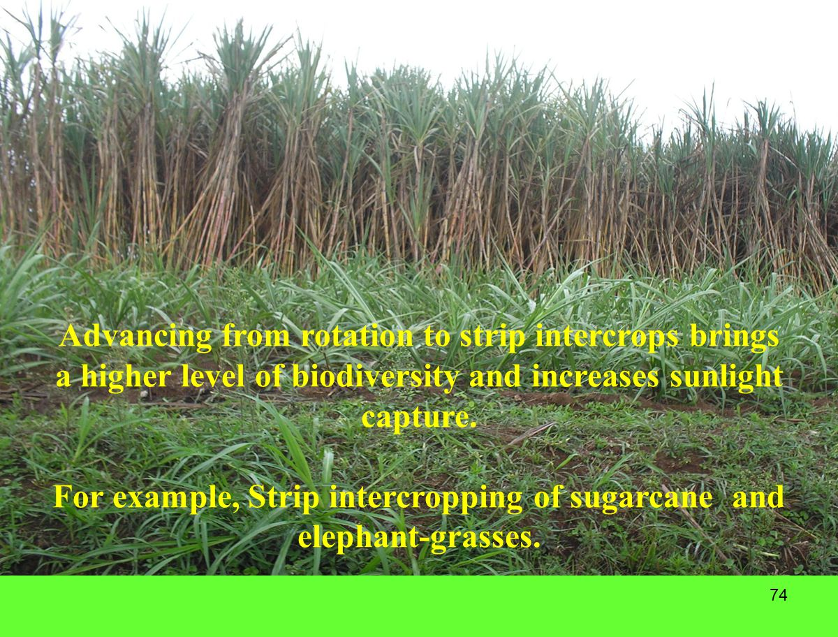 74 Advancing from rotation to strip intercrops brings a higher level of biodiversity and increases sunlight capture. For example, Strip intercropping