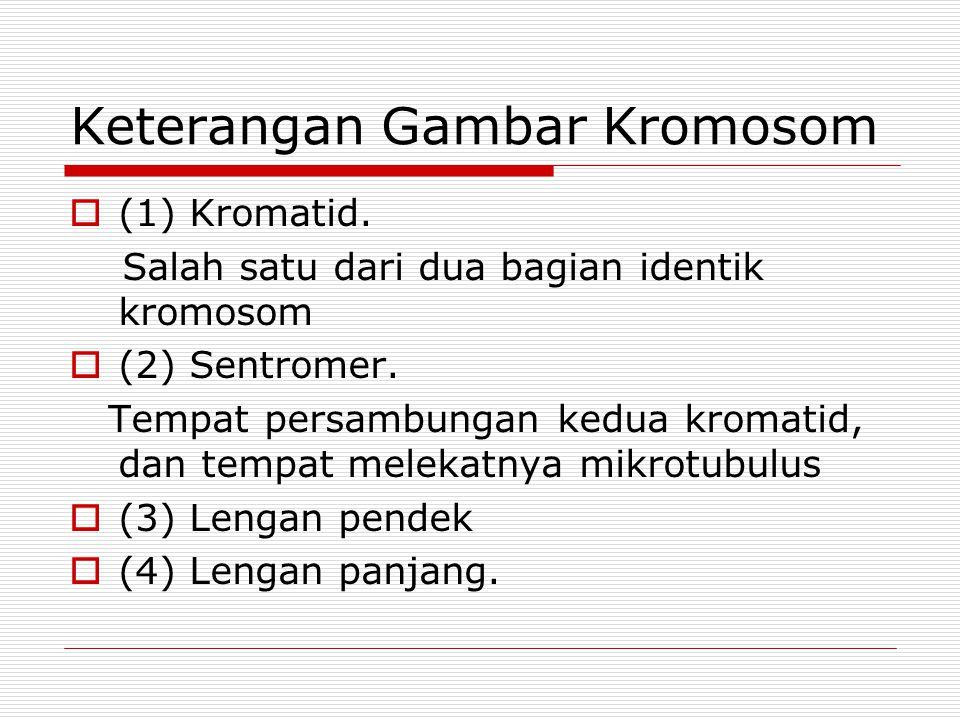 Keterangan Gambar Kromosom  (1) Kromatid.