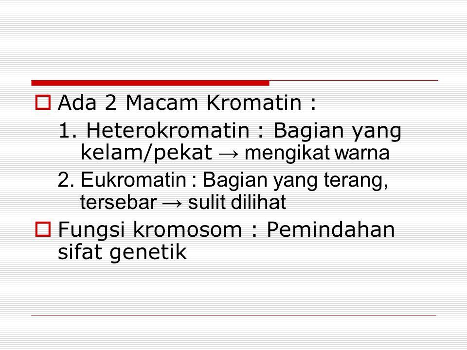  Ada 2 Macam Kromatin : 1.Heterokromatin : Bagian yang kelam/pekat → mengikat warna 2.