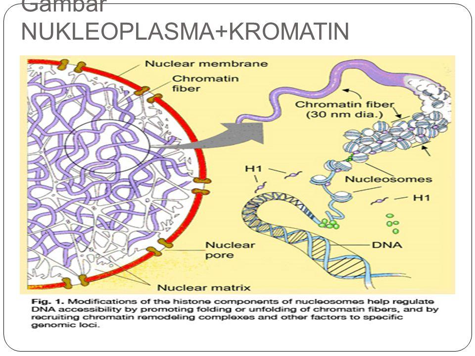 Tidak diselubungi oleh membran Tempat berlangsungnya transkripsi gen yang dari proses tersebut didapatkan molekul rRNA Nukleolus mengandung gulungan DNA, setiap gulungan DNA mengandung sekelompok gen rRNA dan setiap kelompok gen rRNA disebut daerah organisator nukleolar Penampakan nukleolus mengalami perubahan selama siklus sel.