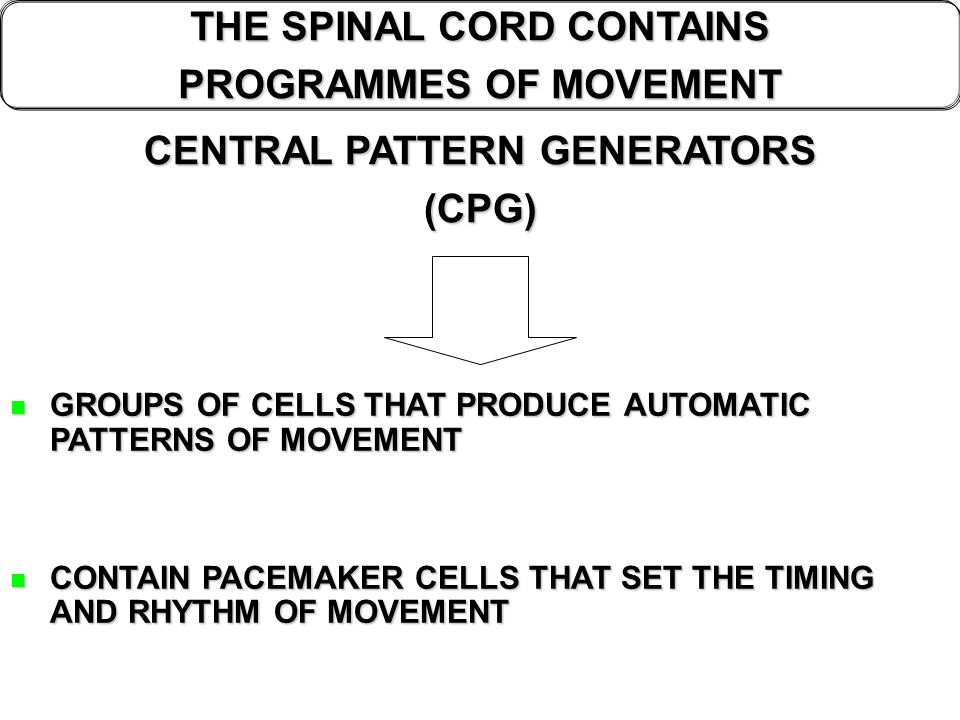 THE SPINAL CORD CONTAINS PROGRAMMES OF MOVEMENT CENTRAL PATTERN GENERATORS (CPG) GROUPS OF CELLS THAT PRODUCE AUTOMATIC PATTERNS OF MOVEMENT GROUPS OF