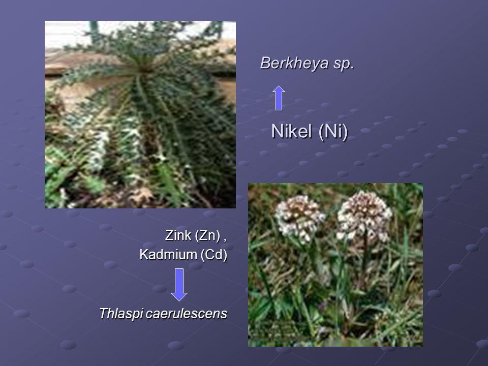 Berkheya sp. Nikel (Ni) Zink (Zn), Kadmium (Cd) Thlaspi caerulescens