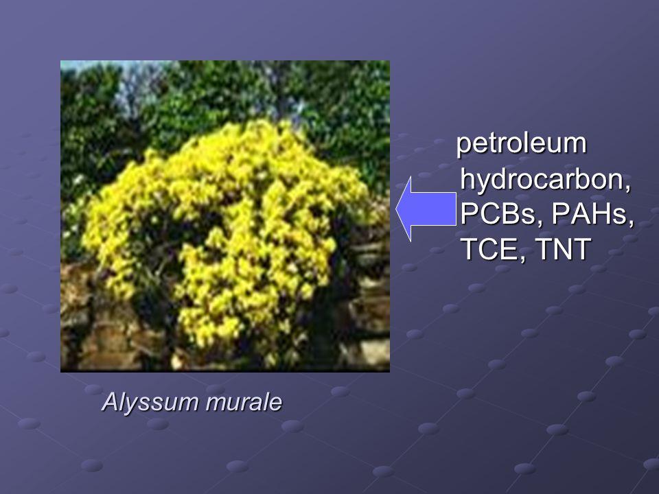Alyssum murale petroleum hydrocarbon, PCBs, PAHs, TCE, TNT petroleum hydrocarbon, PCBs, PAHs, TCE, TNT