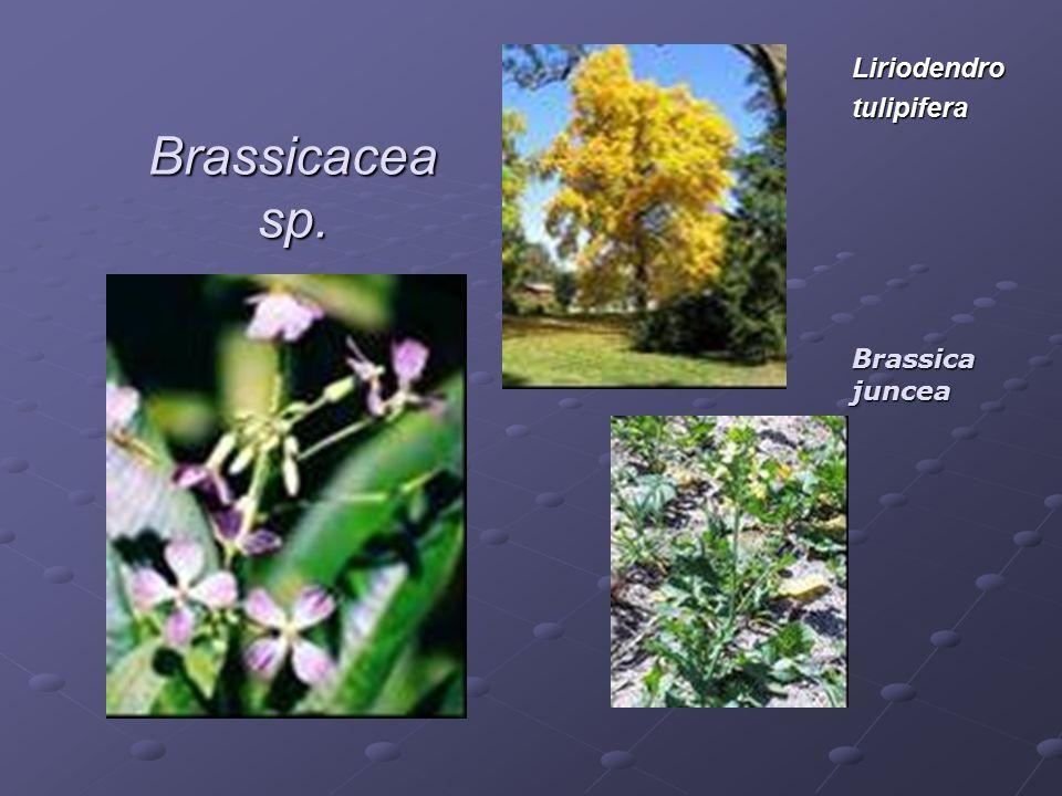 Brassicacea sp. Liriodendrotulipifera Brassica juncea