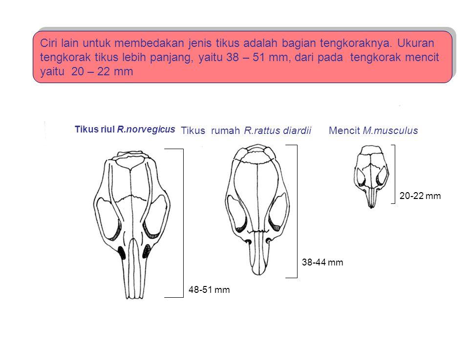 48-51 mm 38-44 mm 20-22 mm Tikus riul R.norvegicus Tikus rumah R.rattus diardiiMencit M.musculus Ciri lain untuk membedakan jenis tikus adalah bagian