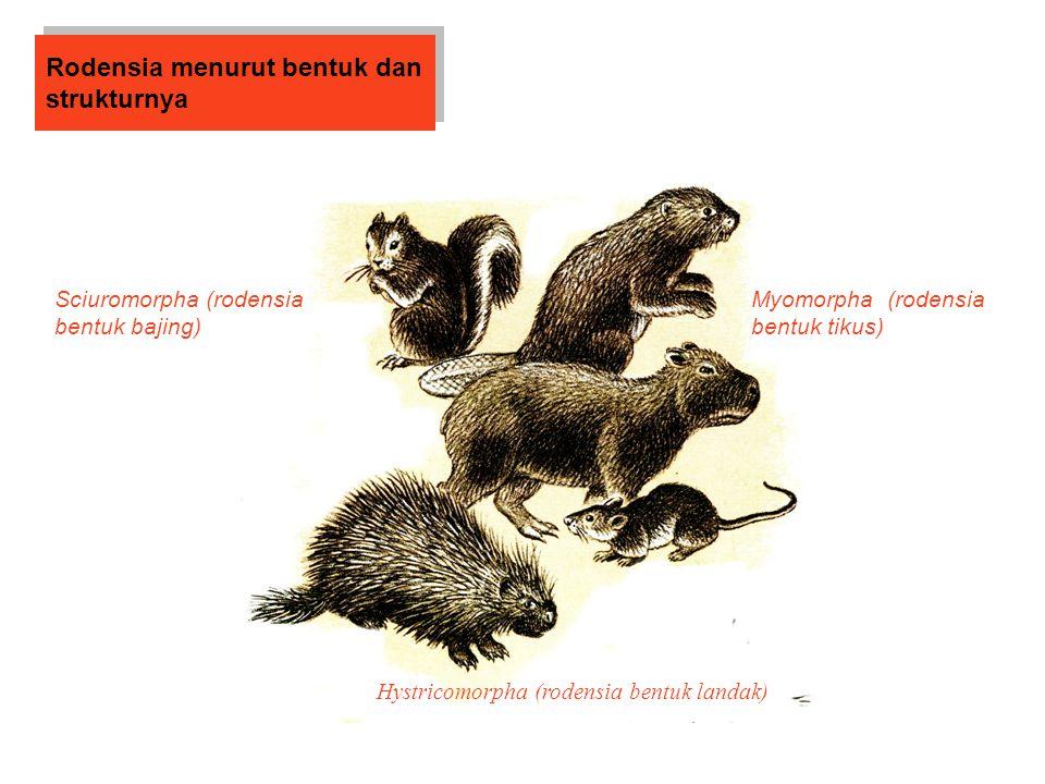 Rodensia menurut bentuk dan strukturnya Sciuromorpha (rodensia bentuk bajing) Myomorpha (rodensia bentuk tikus) Hystricomorpha (rodensia bentuk landak