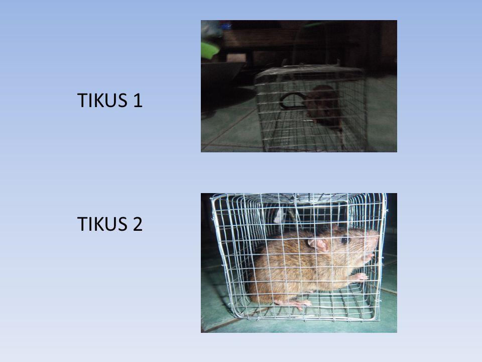 TIKUS 1 TIKUS 2