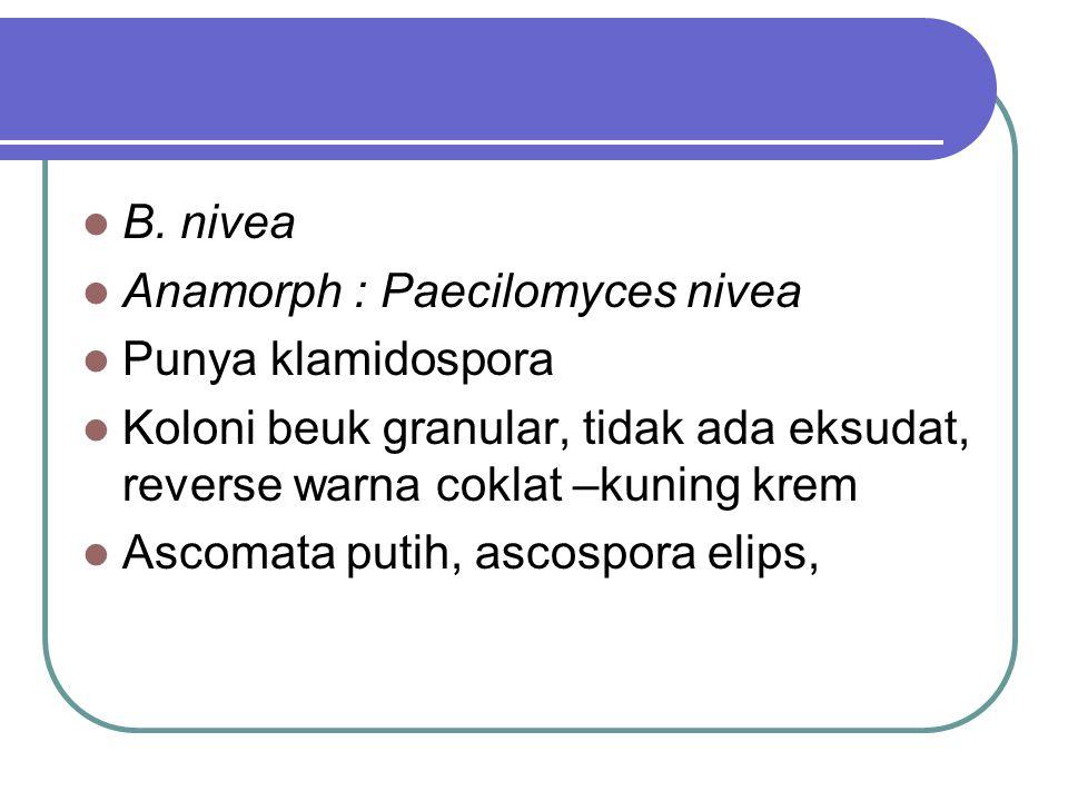 B. nivea Anamorph : Paecilomyces nivea Punya klamidospora Koloni beuk granular, tidak ada eksudat, reverse warna coklat –kuning krem Ascomata putih, a