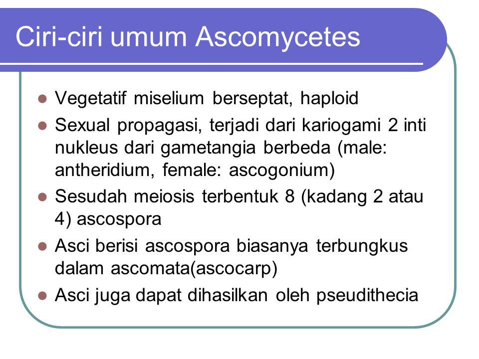 Ciri-ciri umum Ascomycetes Vegetatif miselium berseptat, haploid Sexual propagasi, terjadi dari kariogami 2 inti nukleus dari gametangia berbeda (male