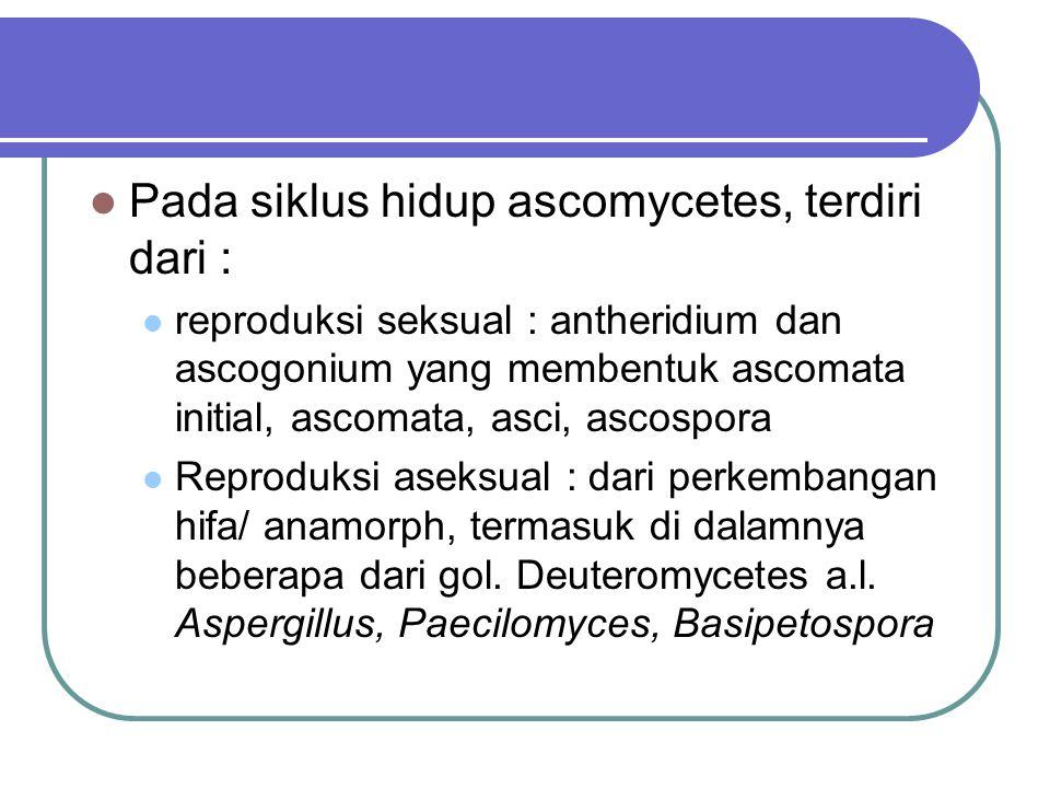 Pada siklus hidup ascomycetes, terdiri dari : reproduksi seksual : antheridium dan ascogonium yang membentuk ascomata initial, ascomata, asci, ascospo