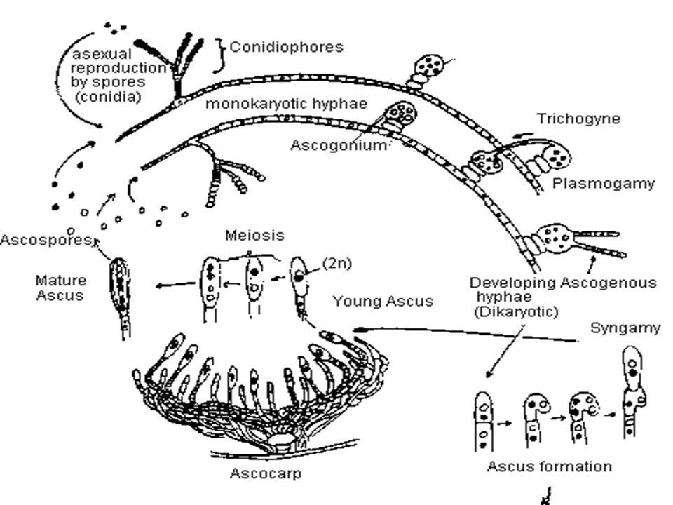 Byssochlamys: B.fulva : Anamorph : Paecilomyces fulvus B.