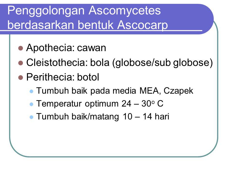 Penggolongan Ascomycetes berdasarkan bentuk Ascocarp Apothecia: cawan Cleistothecia: bola (globose/sub globose) Perithecia: botol Tumbuh baik pada med